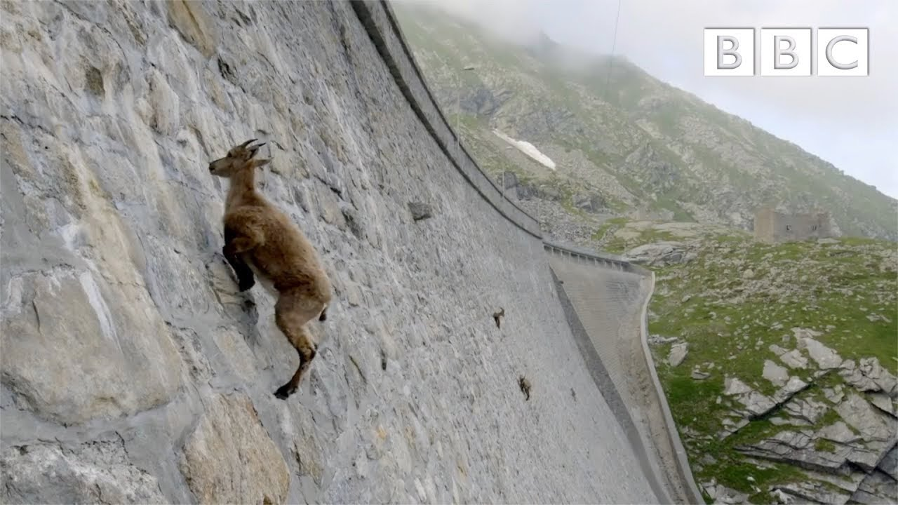 The incredible ibex defies gravity and climbs a dam   Forces of Nature with Brian Cox - BBC